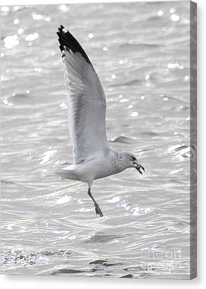Canvas Print featuring the photograph Dining Seagull by Anita Oakley