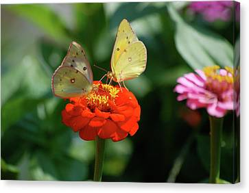Canvas Print featuring the photograph Dinner Table For Two Butterflies by Thomas Woolworth