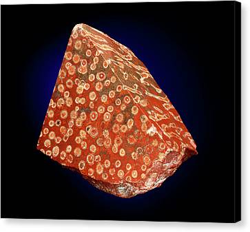 Diphyphyllum Concinnum Canvas Print by Natural History Museum, London