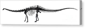 Diplodocus Dinosaur, Fossil Skeleton Canvas Print by Natural History Museum, London