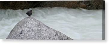 Dipper Bird On Rock At River Canvas Print by Panoramic Images