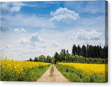 Dirt Road Passing Through Rapeseed Canvas Print by Panoramic Images