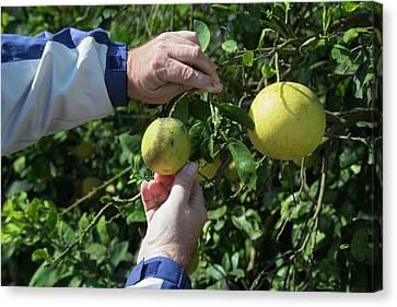 Fort Pierce Canvas Print - Diseased Grapefruit Tree by Jim West