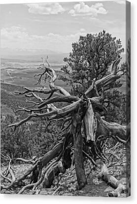 Disfigured Tree Canvas Print by Dan Sproul