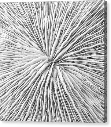 Disk Coral Or Fungia Coral Canvas Print