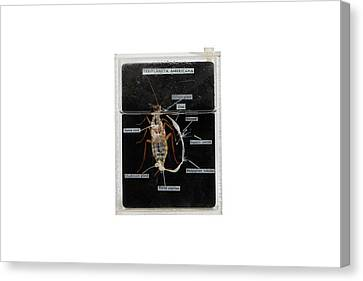 Dissected Cockroach Canvas Print by Gregory Davies