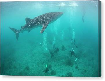 Divers And Snorklers With A Whale Shark Canvas Print by Scubazoo