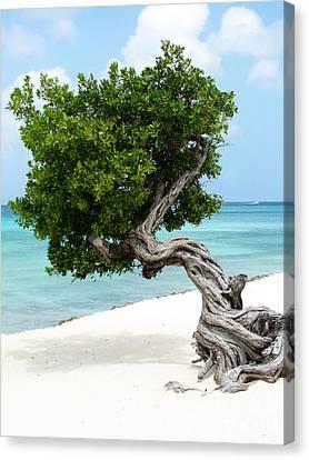 Divi Divi Tree In Aruba Canvas Print