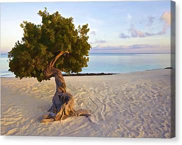 Divi Divi Tree Of Aruba Canvas Print by David Letts
