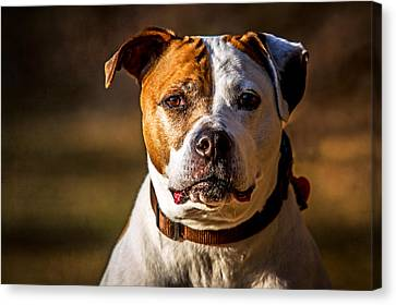 Canvas Print featuring the photograph Dixie Doodle The Pit Bull by Eleanor Abramson