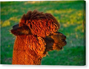 Do You Like My New Haircut Alpaca Canvas Print by Eti Reid
