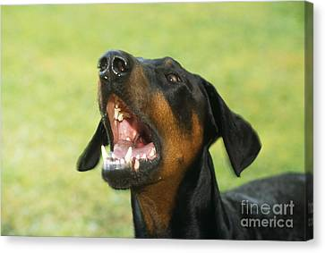 Doberman Pinscher Dog Canvas Print by John Daniels