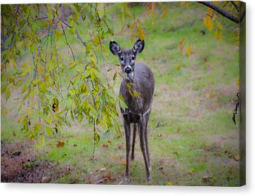 Doe A Deer Canvas Print by Bill Cannon