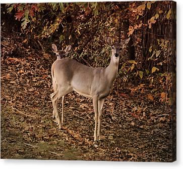 Doe And Fawn - Deer - Wildlife Canvas Print by Jai Johnson