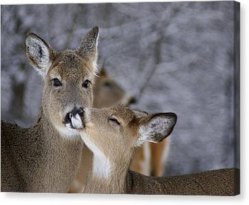 Doe And Fawn Canvas Print by Larry Bohlin