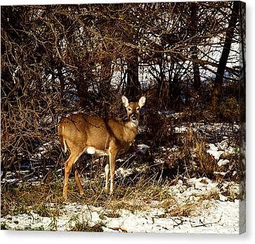 Doe From The Tangle Canvas Print by Thomas Young
