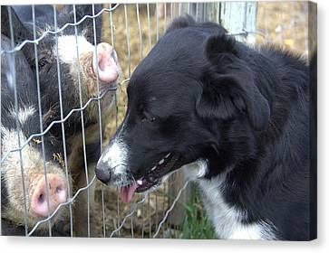 Dog And Pigs Canvas Print by Kathy Bassett