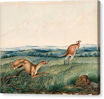 Dog Chasing A Kangaroo  Canvas Print by Adam Gustavus Ball
