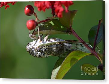 Dog Day Cicada Canvas Print by Kathy Gibbons