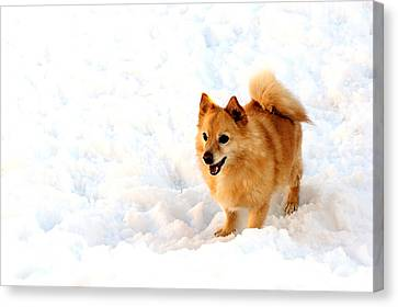 Dog In Snow Canvas Print by Marwan Khoury