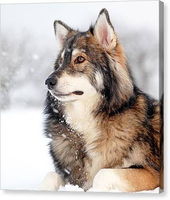 Dog In The Snow Canvas Print by Grant Glendinning