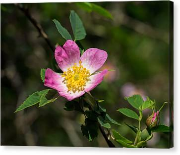 Canvas Print featuring the photograph Dog-rose by Leif Sohlman