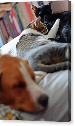 Sharing Canvas Print - Dog Sharing Sofa With Couple Of Cats by Nano Calvo