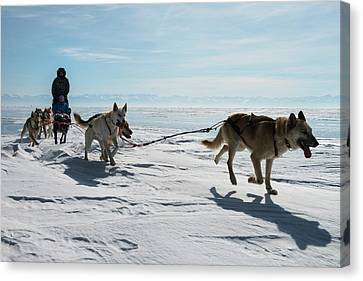 Dog Sledding Canvas Print by Louise Murray