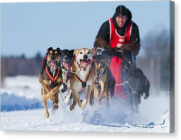 Dog Sledding Race Canvas Print by Mircea Costina Photography