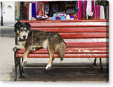 Dog Sleeping On A Red Bench Punta Canvas Print by Remsberg Inc