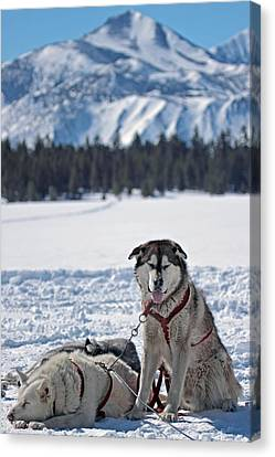 Dog Team Canvas Print