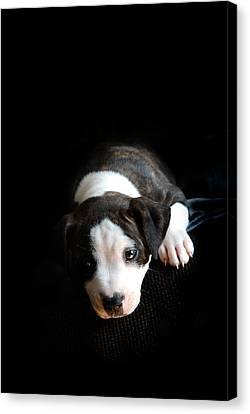 Staffordshire Bull Terrier Canvas Print - Dog-tired by Mark Rogan