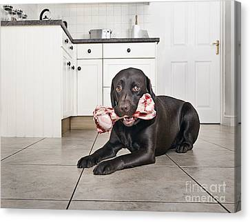 Dog With A Big Bone Canvas Print by Justin Paget