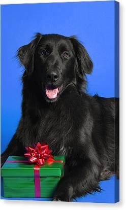 Newfoundlander Canvas Print - Dog With Present by Corey Hochachka