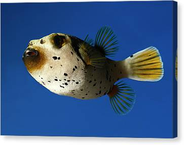 Dogface Pufferfish Canvas Print