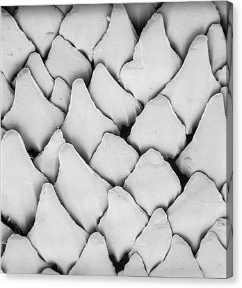 Scanning Electron Micrograph Canvas Print - Dogfish Scales by Natural History Museum, London