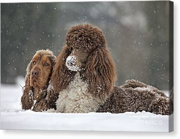 Dogs In Snow Canvas Print by Johan De Meester