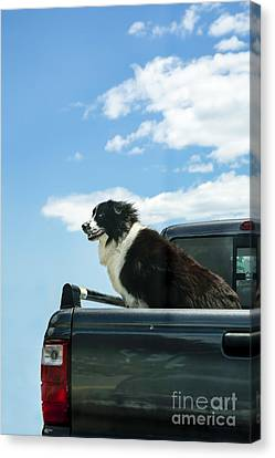 Mutt Canvas Print - Dogs Love Trucks by Diane Diederich
