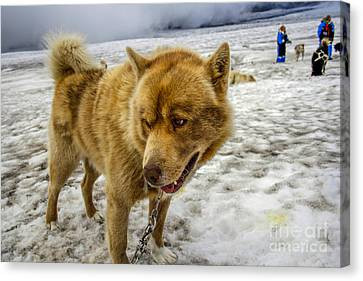 Dogsledding Dog Canvas Print by Patricia Hofmeester