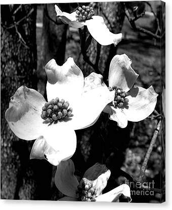 Dogwood 3 Canvas Print by Andrea Anderegg