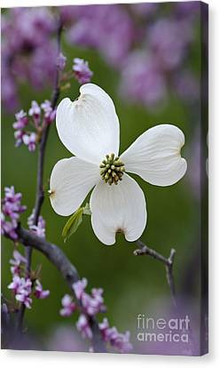 Dogwood And Redbud - D008979 Canvas Print by Daniel Dempster