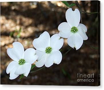 Canvas Print featuring the photograph Dogwood by Andrea Anderegg