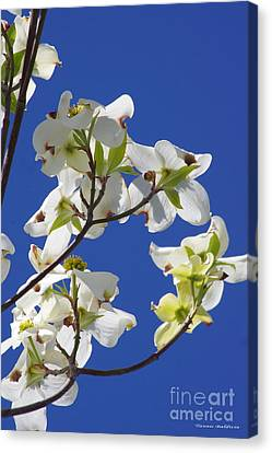 Canvas Print featuring the photograph Dogwood Beauty by Tannis  Baldwin