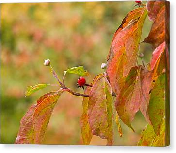 Canvas Print featuring the photograph Dogwood Berrie by Nick Kirby