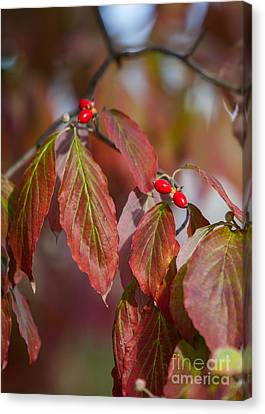 Dogwood Berries Canvas Print by Kay Pickens