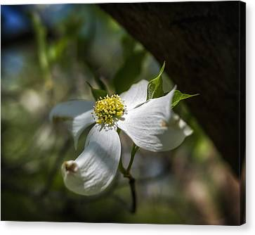 Dogwood Bloom In Shadows Canvas Print by Lori Coleman