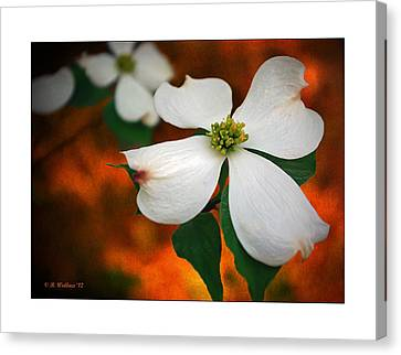Dogwood Blossom Canvas Print by Brian Wallace