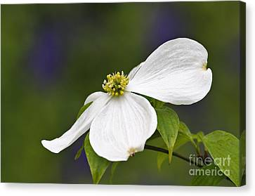 Dogwood Blossom - D001797 Canvas Print by Daniel Dempster
