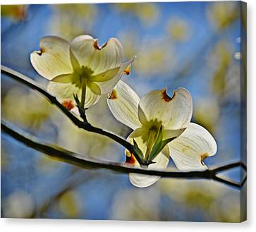 Dogwood Blossoms Canvas Print by Linda Brown