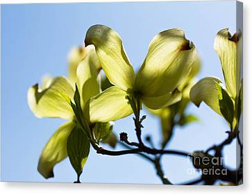 Dogwood Blossoms Canvas Print by Ursula Lawrence